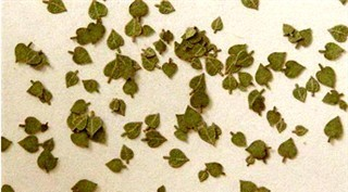 Lime leaves (c. 100pcs.) - Green